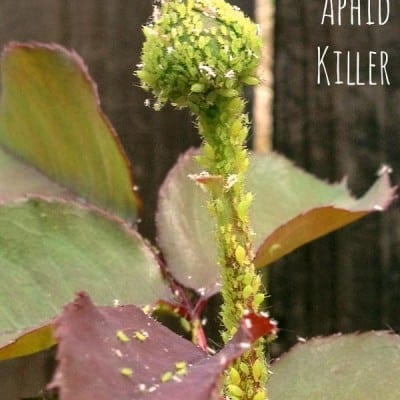 DIY Aphid Killer: Day 286