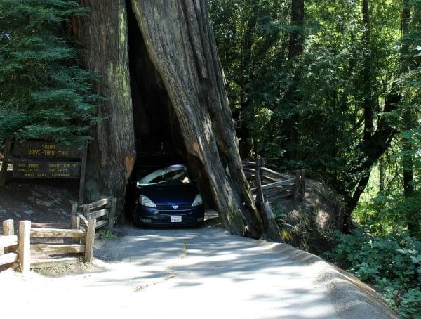 redwoods tree