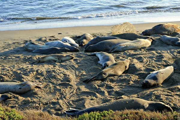 elephant seal beach resized